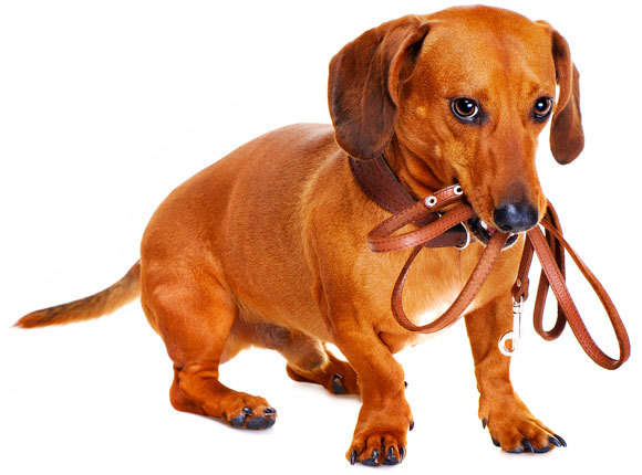 ᐅ Aprende A Cómo Educar O Adiestrar A Tu Perro Salchicha