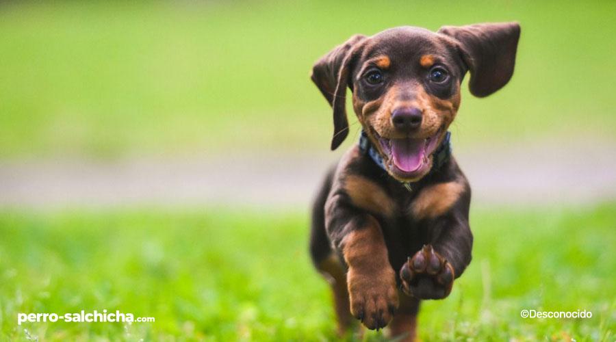 perro salchicha bebe corriendo