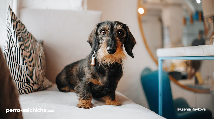 perro salchicha de pelo duro